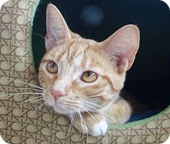 Domestic Shorthair Cat for adoption in Greenfield, Indiana - Bonnie Bell