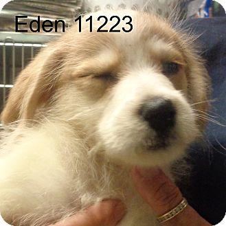 Golden Retriever/Dachshund Mix Puppy for adoption in baltimore, Maryland - Eden