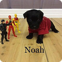 Adopt A Pet :: Noah 2 - Shreveport, LA