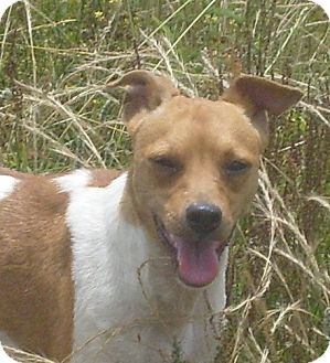 Jack Russell Terrier Mix Dog for adoption in Mtn Grove, Missouri - Wishbone