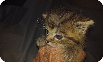 Domestic Shorthair Kitten for adoption in Columbus, Ohio - Cuddley Jan