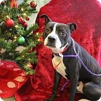 Adopt A Pet :: Gotti - Greensboro, NC