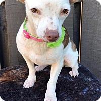Adopt A Pet :: Snowflake - Weston, FL