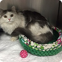 Domestic Mediumhair Kitten for adoption in Gatineau, Quebec - Lily