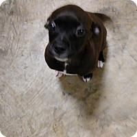 Adopt A Pet :: Irina - Saint Clair, MO