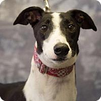 Adopt A Pet :: NB's Lock N Load - Carol Stream, IL