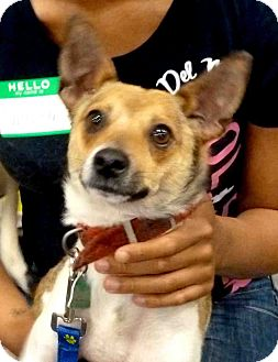 Rat Terrier Mix Dog for adoption in Loudonville, New York - Rusty