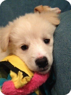 Golden Retriever Mix Puppy for adoption in Brattleboro, Vermont - Ginny Pup