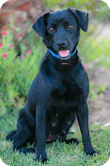 Labrador Retriever Mix Dog for adoption in San Diego, California - DULCE, I am small!