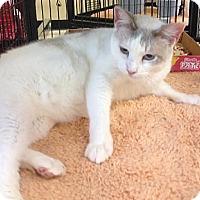 Siamese Cat for adoption in Miami, Florida - Maya