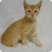 Adopt A Pet :: George Weasley - Maywood, NJ
