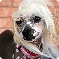 Adopt A Pet :: Popcorn-Adoption pending - Bridgeton, MO