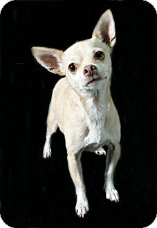 Chihuahua Dog for adoption in Fort Worth, Texas - Paulette
