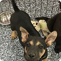 Adopt A Pet :: Melissa - Tucson, AZ