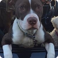 Adopt A Pet :: Royce - West Allis, WI