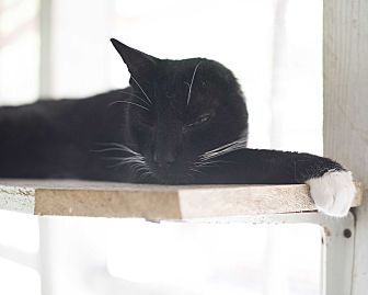Domestic Shorthair Cat for adoption in Houston, Texas - Cat 7