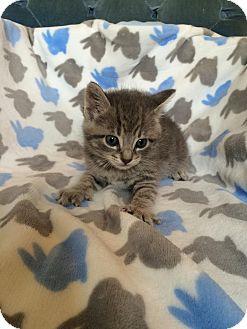 Domestic Shorthair Kitten for adoption in Union, Kentucky - Buddy