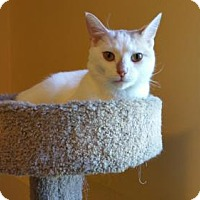 Domestic Shorthair Cat for adoption in Minneapolis, Minnesota - Tucker