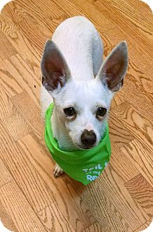 Chihuahua Mix Puppy for adoption in Boulder, Colorado - Winston