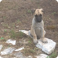 Adopt A Pet :: Fawn - Austin, TX