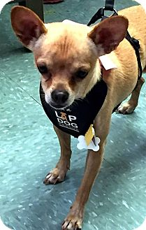 Chihuahua Mix Dog for adoption in Tijeras, New Mexico - Buttercup