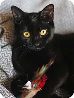 Domestic Shorthair Kitten for adoption in Oviedo, Florida - KiKi the Loving Kitten