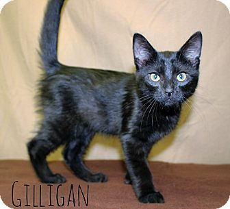 Domestic Mediumhair Kitten for adoption in Melbourne, Kentucky - Gilligan