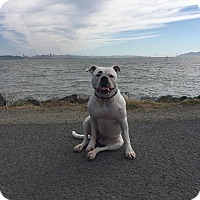 American Bulldog Dog for adoption in Stockton, California - **MAIZEY**