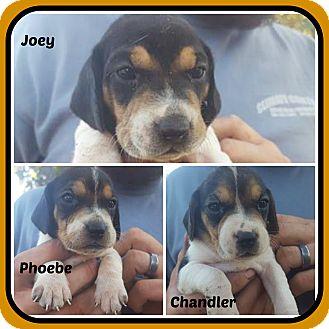 Rat Terrier/Beagle Mix Puppy for adoption in Malvern, Arkansas - JOEY,PHOEBE,CHANDLER
