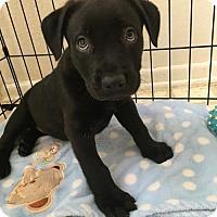 Adopt A Pet :: Midnight - Claremont - Chino Hills, CA