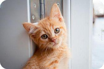Domestic Shorthair Kitten for adoption in Santa Rosa, California - Rusty