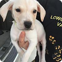 Adopt A Pet :: Snowy - Summerville, SC