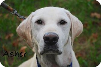 Labrador Retriever/Labrador Retriever Mix Dog for adoption in Minneola, Florida - Asher