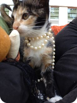 Domestic Shorthair Kitten for adoption in Statesville, North Carolina - Rita Hayworth