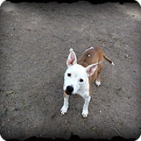 Pit Bull Terrier Mix Dog for adoption in Brownsville, Texas - Sheenah