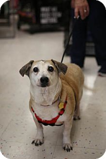 Corgi/Jack Russell Terrier Mix Dog for adoption in Olive Branch, Mississippi - Lady