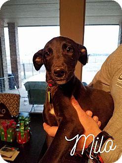 Greyhound/Irish Wolfhound Mix Puppy for adoption in Augusta, Maine - A - MILO