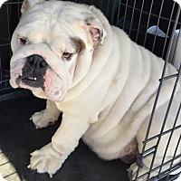 Adopt A Pet :: Sugar - Odessa, FL