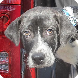 Silver and Charcoal Labrador Puppies - Call Today!