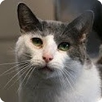 Domestic Shorthair Cat for adoption in Union Lake, Michigan - Silver>^.,.^< $35 adoption