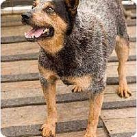 Adopt A Pet :: Peyton - Portland, OR