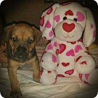 Adopt A Pet :: Baby Gabriel - Marlton, NJ