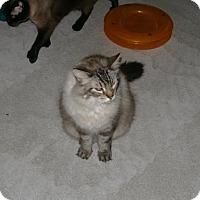Adopt A Pet :: Chai - Sparta, WI