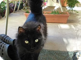 Domestic Longhair Cat for adoption in Tucson, Arizona - Priscilla