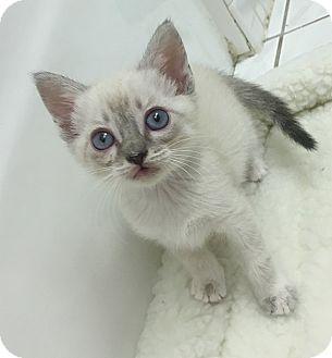 Adopt A Siamese Cat Florida