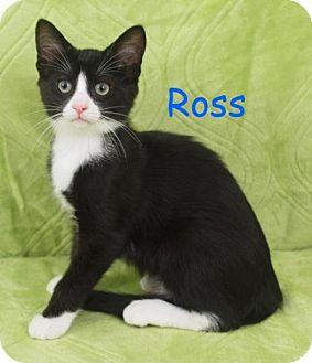 Domestic Shorthair Kitten for adoption in Elkhorn, Wisconsin - Ross