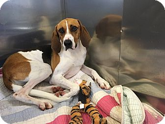 Treeing Walker Coonhound/Hound (Unknown Type) Mix Dog for adoption in Avon, Ohio - Petunia