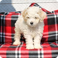 Adopt A Pet :: Mochi Poo - Los Angeles, CA