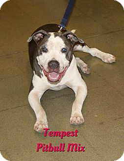 Pit Bull Terrier Mix Dog for adoption in Cheney, Kansas - Tempest