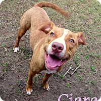 Adopt A Pet :: Ciara - Georgetown, SC